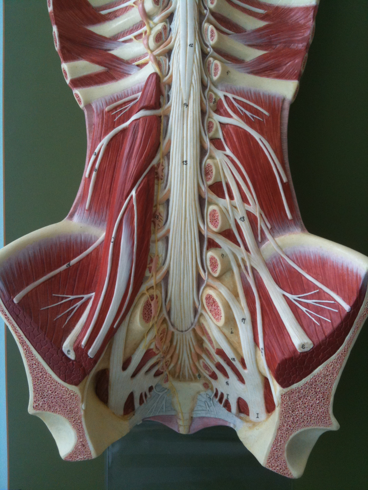 anatomy: the lumbosacral plexus and the lower limb - don't be a salmon, Muscles