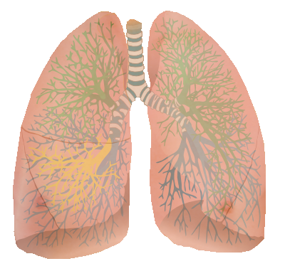 ... lungs and their nervous innervation. We can rectify that a little bit